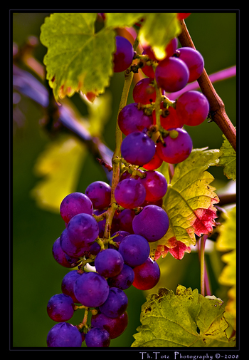 Trauben - wine grapes