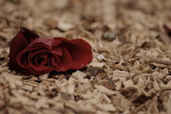 A lonely rose...