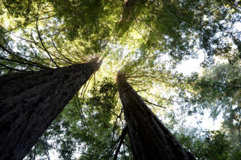 Giant California Redwoods