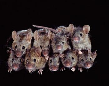 stack o' mice