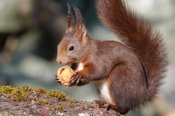 squirrel eating a walnut